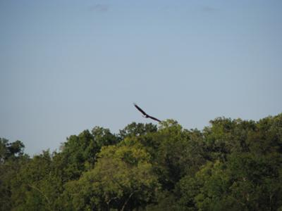Eagle Soars Over Lower Grey Cloud